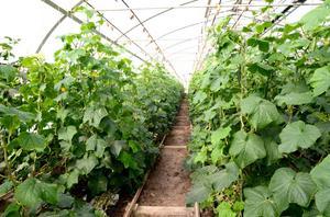 Pellasgårdens växthus är 500 kvadrameter stora.