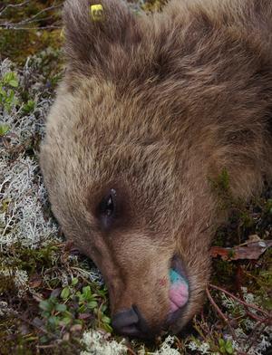 Lite färg på tungan skvallrar om att björnungen tatuerats på insidan av läppen.