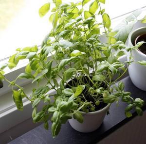 Basilika. Malin och Anton odlar egna kryddor, det blir billigare så – och godare.