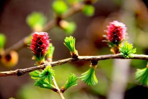Just nu blommar lärkträdet.