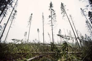 I Fälleområdet söder om Härnösand gick stormen Ivar fram med en förödande kraft.