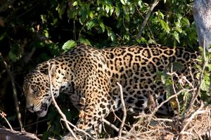 Jaguaren, världens tredje största kattdjur, trängs undan allt mer från sitt utbredningsområde i Syd- och Mellanamerika.