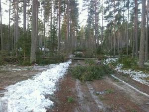 Träden ligger som plockepinn i skogen vid Hagen i Häradsbygden.