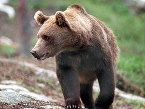 Länsstyrelsen i Jämtland motsätter sig även det lägsta antalet björnföryngringar som har föreslagits. Foto: Per Löchen
