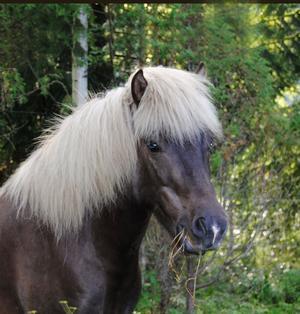 3. LussenRas: IslandshästÅlder: 5 årÄgare: Bettan Persson, LudvikaLucifer fra Randrup, som han egentligen heter, är värd att bli årets Dalahäst, då han kom till familjen som