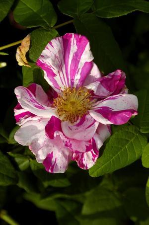 Polkagrisros. Rosa gallica officinales, här hemma kallad Rosamunda eller polkagrisros är tvåfärgad syster till den välkända apotekarrosen. Den är mer ovanlig men och lika tålig och robust som denna med blad som passar utmärkt att använda i medicinskt syfte.