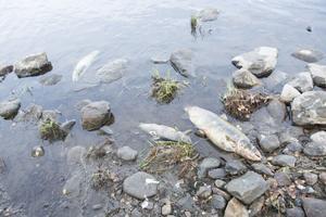 Fåglar har ätiti på de döda fiskarna och det luktar ruttet kring strandkanten.