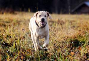 Sex månader gamla labradoren Charlie gillar att det fortfarande är snöfritt i markerna.