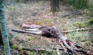 Älgen dödades troligtvis av en björn.