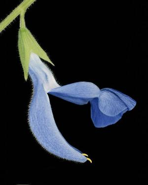 Andra klassen. Sálvia patens hör till Linnés klass två i växtriket, blommor med bara två ståndare.