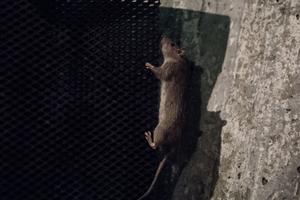 När råttorna lär sig att ljudet från skrämmorna inte innebär någon skada för dem så ignorerar de ljudskrämmorna helt.