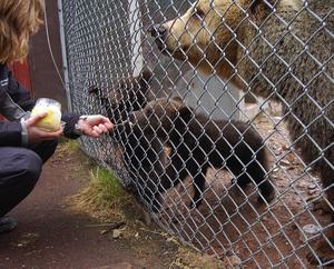 Honung. Att björnar gillar honung gick det inte att ta miste på. När en av praktikanterna i björnparken stack in en sked med honung genom stängslet blev det slagsmål om godiset.