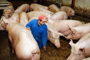 Här tittar Johan till de dräktiga suggorna. De ska få sina kultingar strax före jul.Foto: Jan Andersson