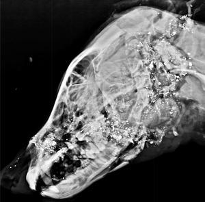 Statens veterinärmedicinska anstalt undersökte den skjutna vargen. Det vita på röntgenbilden av huvudet är splitter från de två kulor som sköts.