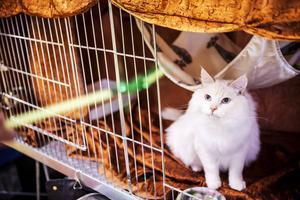 Mellan bedömning framför domarna får katterna vila i burarna. Här trivs kissen Danilo som har en väldigt lyxig och stor bur.