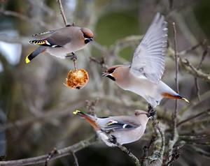 Sidensvans   Likt trastarna är den mycket vackra sidensvansen en bär- och fruktätare. Lägger man ut äpplen så är chansen stor att de lockar till sig denna fågel som ibland kan ses i flockar på hundratals individer.