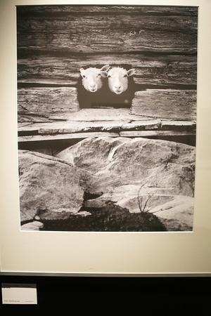 En av utställningens bilder, Kjell Larssons bild som fått namnet Fårskallar