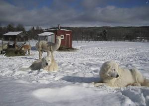 Jan-Olof Östberg och Birgitta Ericsson skaffade de första alpackorna 2009. Förutom avel säljer de även ull och ordnar kurser.
