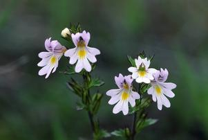 Svensk ögontröst, en av de ovanliga blommor Martin Emtenäs letar efter på Gotland.