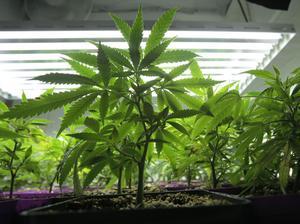 Polisen misstänker att mannen har sålt eller planerade att sälja cannabis vidare.  (Bilden har ingenting med händelsen att göra.)