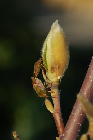 Vårkänslorna kommer här till uttryck på min Magnoliabuske.