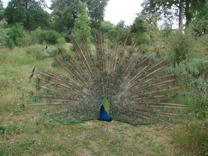 Frigående påfågel i Parc de Bagatelle i Paris.