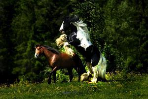 Störst i hagen. Tinkerhästen från Orsa var störst i söndagens hingstsläpp i Böle.