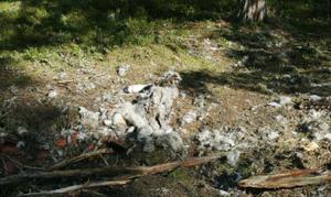 Det är inte mycket kvar av det renkadaver som varit festmåltid för björnar i närheten av Glissjöberg.Foto: Stefan Persson
