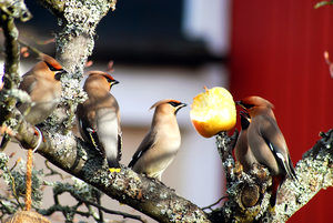 När det bjöds på äpple kom det många hungriga sidensvansar på besök för att avnjuta äpplets sötma i kvällssolen. Visa bråkade om den bästa platsen, medan andra väntade på sin tur.