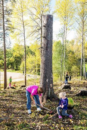 Plantering av lärkträd i skogen vid Sticksjö skola.