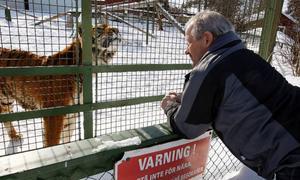 – Märkligt nog känner jag mig inte rädd för tigrar. Det är väl därför man tror att det aldrig kommer att hända igen, säger Bengt Eriksson från Junsele, när han hälsar på tigrarna på Frösö zoo. Foto: Jan Andersson