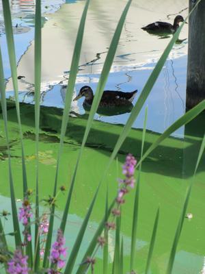 Änder under algblomningstider i augusti månad.