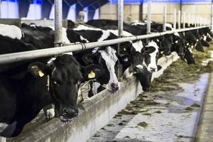 Åtta miljoner kilo mjölk producerar Jan-Erik Hanssons 600 kor varje år.