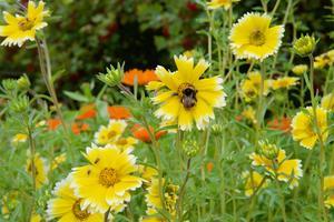 Guldgrävarblommor i Ytterberg  får besök av humlor och flugor. Gårdens bin syntes inte till i trädgården denna dag.
