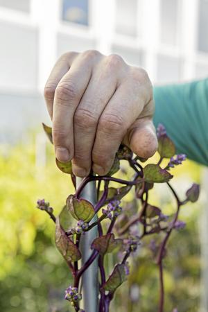 Malaberspenat är en slingerväxt som har goda spenatliknande blad som går att äta. Och den är väldigt vacker. Växer bra i Västerås!