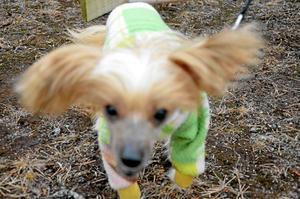 Den kinesiska nakenhunden Kharlos är van vid utställningar men när han skulle prova agility var han lite tveksam.