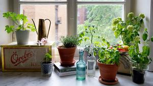 Bor man i lägenhet får man odla där man kommer åt. I Lindas ljusa köksfönster frodas kryddväxterna. Den gamla plåtlådan och Kockumsvågen är älskade loppisfynd.