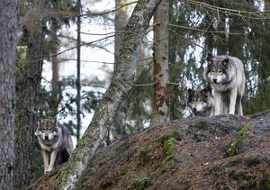 Antalet vargar har minskat i Sverige, enligt en sammanställning som Naturvårdsverket har gjort.