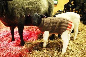 Skräddarsydda ullkläder får lammen i två veckor, sedan får man lämna de vidare till nästa nyfödda.