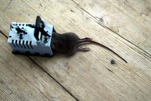 Musfälla är den första och bästa åtgärden, om man vill bli av med mössen. Lyckas man inte, får man tillkalla professionell hjälp.