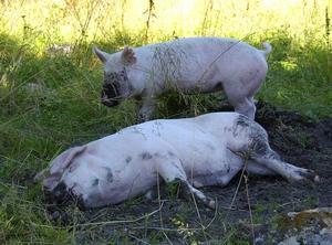 Toppen. Lata dagar i solen gottar sig de här grisarna åt när den riktiga sommaren äntligen kommit till Skräddar-Djurberga. Foto:Börje Lindh