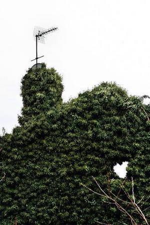 Murgröna kan buska till en tråkig trädgård - och trist fasad - även om det kan bli lite opraktiskt om det får växa alltför fritt.
