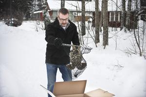 2. HG Eriksson fick med hjälp av en håv ner den utmärglade slagugglan ur trädet där den satt.