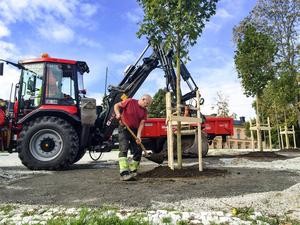 Lönnarna återplacerades på samma plats som de tidigare träden har stått.