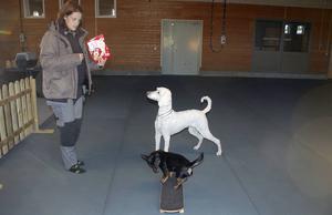 Kul saker för hundar, boll och skateboard tycker pudeln Pudel och världens minsta vallhund, Guppy, en Lancashire Heeler.