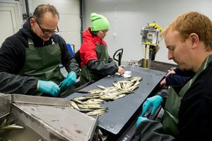 Joakim Eriksson, Karin Wasell och Staffan Nordlöf använder kirurgsaxar för klippa fettfenorna av stirren, som de små laxarna kallas.