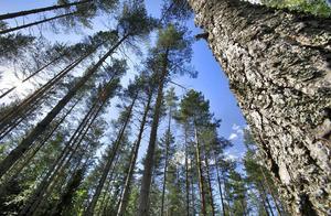 Hudiksvalls kommun äger cirka 5 000 hektar skogsmark.