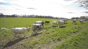 Wernergårdens sju kor och sex kalvar hade mycket spring i benen.