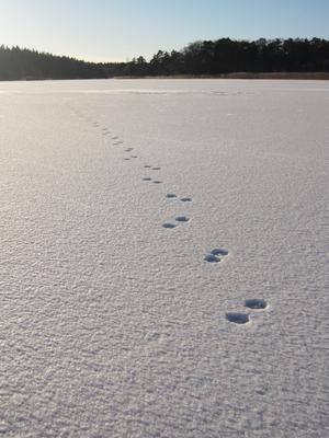 På väg ut över isen till Långholmen. Undrar vem som gått före oss?