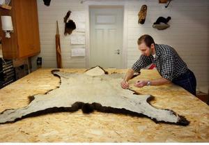 Skinnen bereds eller så blir det en helmontering av björnen.
